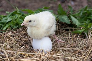 Little cute turkey with egg in a straw nest