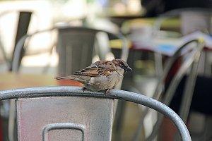 Melbourne Sparrow