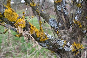 Lichen on branches of a tree, shallow depth of field