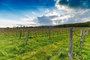 Rows of vineyards