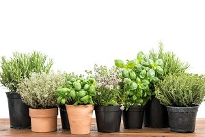 Potted fresh green kitchen herbs
