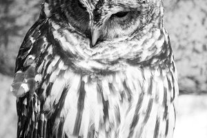 Black and White Owl Photograph