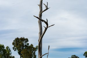 Old gnarled and dead tree in high definition vertical panorama