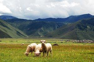 Sheep in China