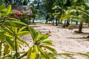 Frangipani plumeria flowers on sunny day, palms and ocean  background, Koh Lipe, Thailand
