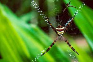 St. Andrew's Cross , Argiope spider rests on web, Ko Tao, Thailand