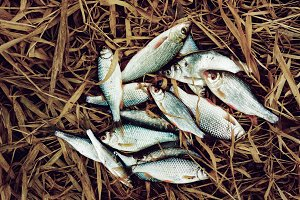 Pile of small fish on old grass