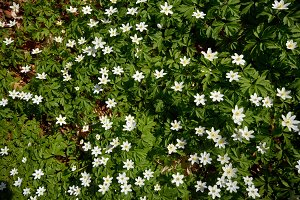 timbleweed in spring