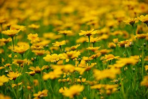 summer meadow with yellow flowers