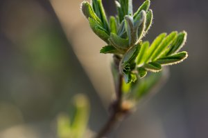 Blossoming green buds on branches at spring time