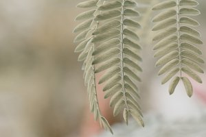 Acacia leaves at blurred background