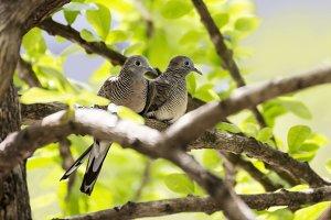 Couple dove bird on tree branch