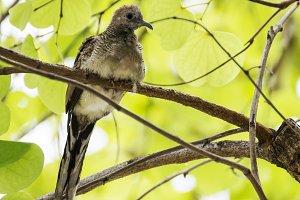 Dove bird on tree branch