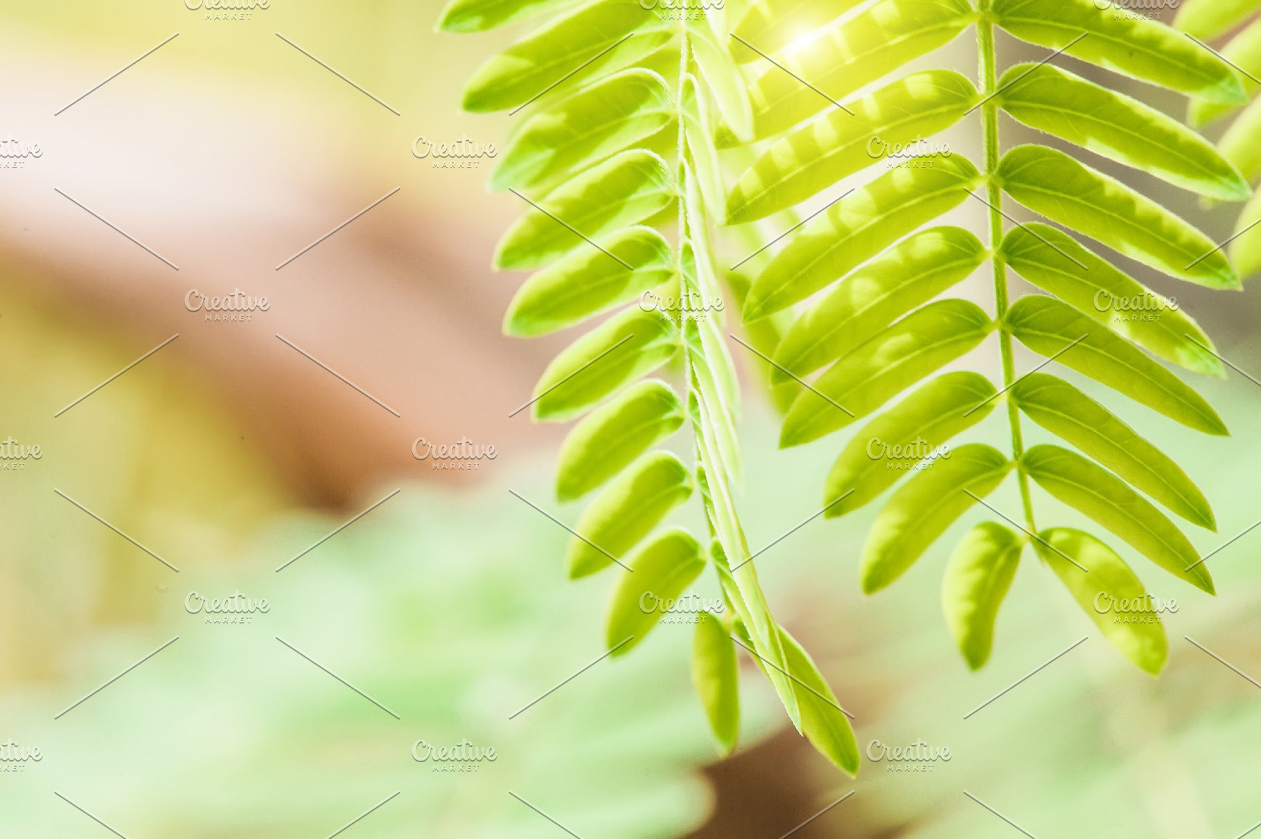Acacia Leaves At Blurred Background Nature Photos Creative Market