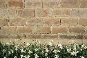 Daffodils flowers on the background of a brick wall