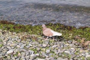 A brown pigeon steps on a shingle bank near the seaside