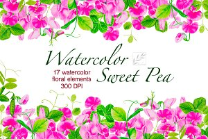 Watercolor sweet pea. Floral clipart