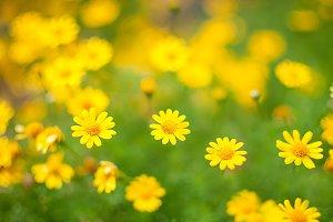 Sanvitalia speciosa flowers