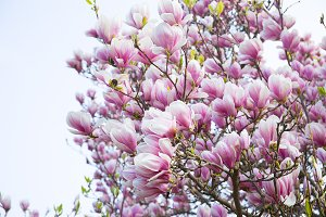 magnolia, spring, background