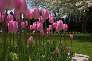 Rows of Pink Tulips