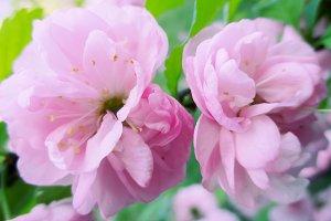 Pink spring flowers, wild rose