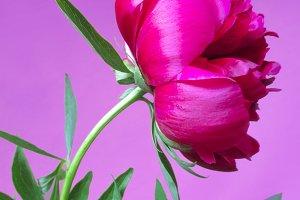 Pink peony, spring flower