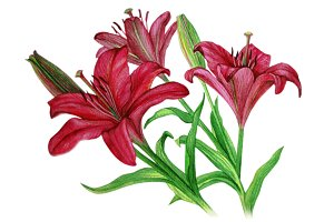 Lilies flowers with buds watercolor painting on white background