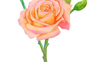 Pink-yellow rose on the stem with buds on a white background - watercolor painting