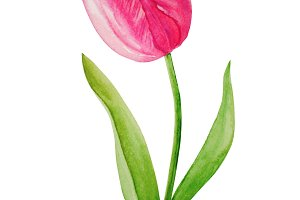 Pink tulip flower on a stalk - watercolor illustration