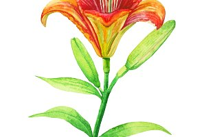 Orange lily flower on a stalk - watercolor illustration.