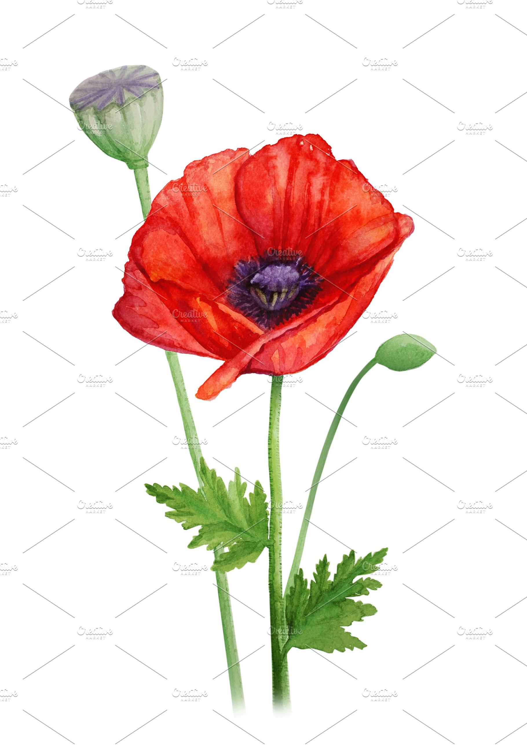 Red Poppy Flower On A Stalk Watercolor Illustration High