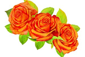 Three orange roses with green foliage on a white background - watercolor painting