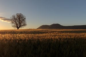 Green barley field ans a lonely oak at sunrise