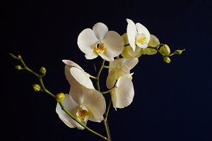Branch of a blossoming white orchid on dark blue background