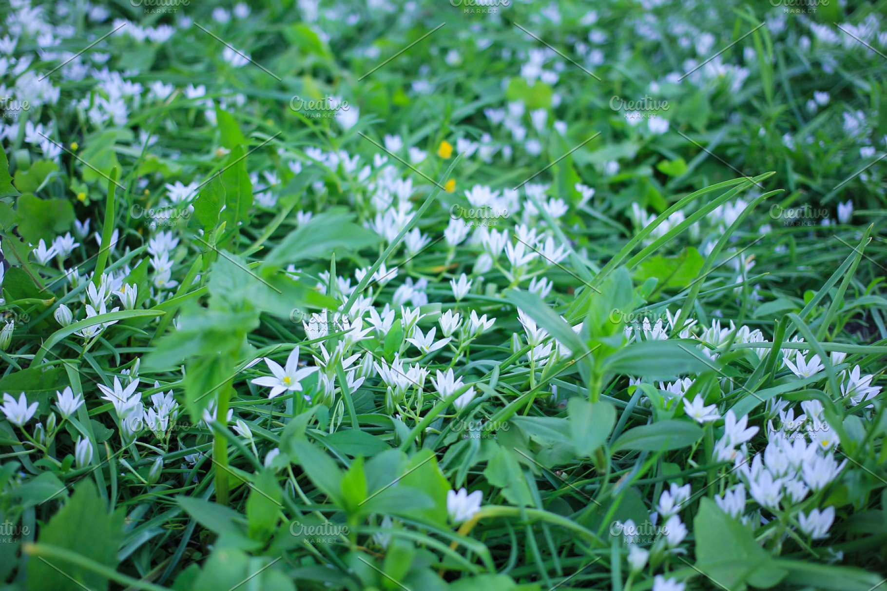 Green Meadow With White Small Flowers Of Lily Of The Valley Nature