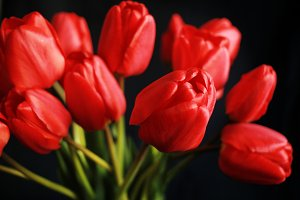 Close up red tulips on black background