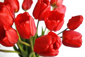 Close up of red tulips on white background