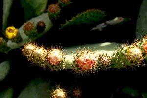Prickly pears, flowers and thorns