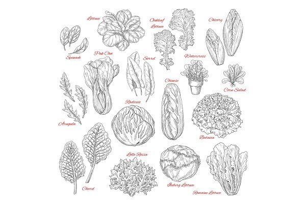 Vector sketch icons of salad leafy…