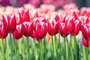 Colorful tulips in Keukenhof Garden