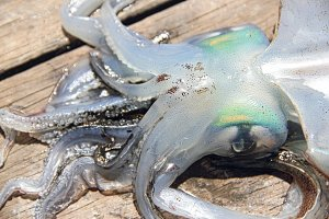Squid at the beach close up