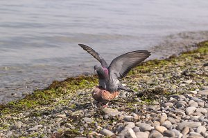 Blue dove with spread wings sits astride a brown pigeon on the seashore