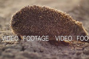 hedgehog walking from dry ground to green grass in sunset time