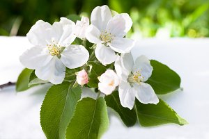 White apple tree flowers