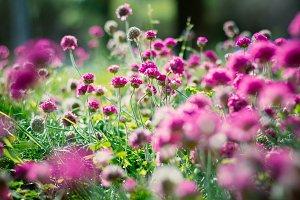 Armeria flowers.jpg