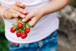 Wild strawberries in hands.jpg