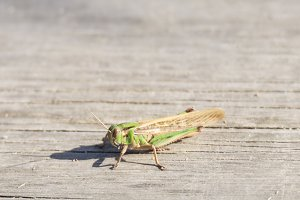 grasshopper perched