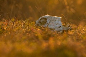 Animal skull in a atumn grass