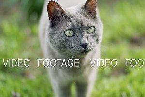 Russian Blue cat in nature