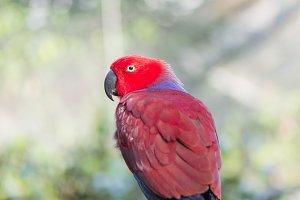 eclectic parrot, eclectus roratus